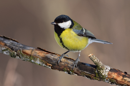 Great tit (Parus major) sits on an old branch: very close, can see every feather, glare in the eye.