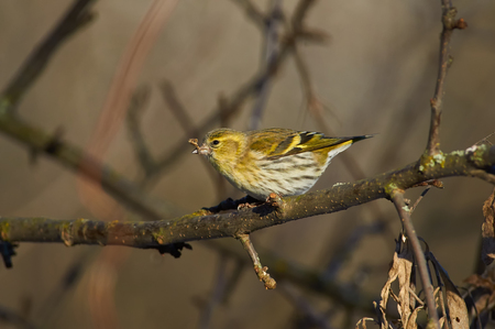 Siskin (female, Spinus spinus) sits on a wild apple tree with a twig in its beak in its natural habitat.