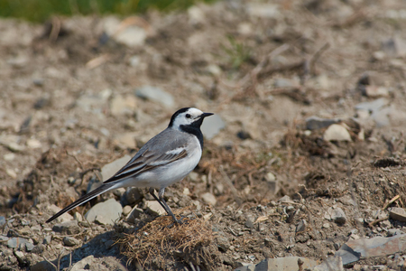 White wagtail (Motacilla alba) sits on the stony bank of the river in a natural habitat.