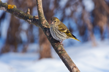 Siskin (Spinus spinus) sits on a branch, fluffing feathers from a severe frost.