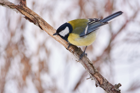 Great tit (Parus major) sits on a branch of a tree in a forest park and looks down in search of food. Banque d'images