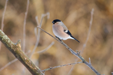 Eurasian bullfinch (pyrrhula pyrrhula, female) sits on a thin branch covered with ice crystals (frosty morning).