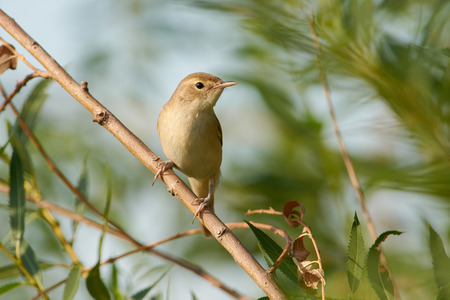 Marsh warbler (Acrocephalus palustris) bird sits on a thin branch of a weeping willow, near the nest. Reklamní fotografie