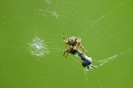 Europäische Kreuzspinne (Araneus diadematus) hat ein Opfer (Insekt) in ihrem Netz gefangen und frisst es.