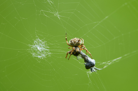 European garden spider (Araneus diadematus) caught a victim (insect) in its web and eats it.