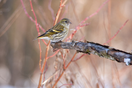 Siskin (Spinus spinus) sits on a branch with flaky bark against a background of pink bushes.