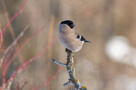 Eurasian bullfinch (pyrrhula pyrrhula, female) sits on a branch covered with lichen and looks at the rising sun. 免版税图像