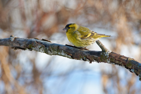 Siskin (Spinus spinus) sits on a branch with flaky bark on the background of bushes. 免版税图像