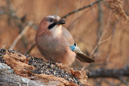 Eurasian jay (Garrulus glandarius) sits on a fallen log and eats sunflower seeds in late autumn.