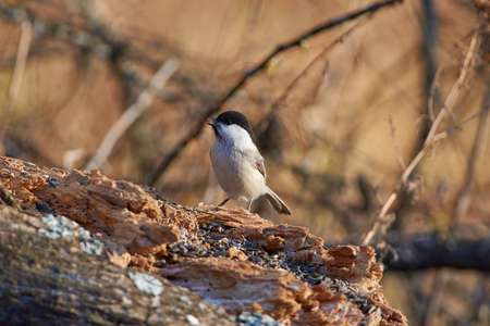 Willow tit (Poecile montanus) sits on a dry log in the autumn forest park (flew for sunflower seeds). 版權商用圖片