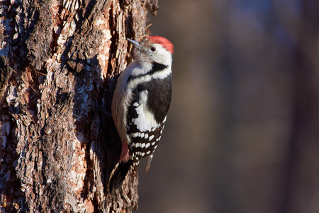 Middle spotted woodpecker (Dendrocoptes medius) sits on a larch trunk in a forest park in an autumn forest park. 스톡 콘텐츠