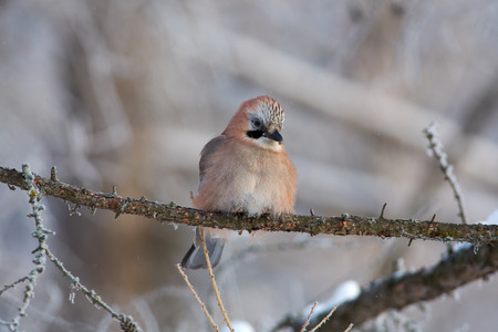 Eurasian jay (Garrulus glandarius) sits on a larch branch in a winter forest park.