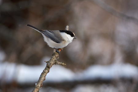 Willow tit (Poecile montanus) sits on a branch in a clearing in the winter forest park. Фото со стока