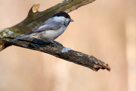 Willow tit (Poecile montanus) sits on a dry branch with a seed in its beak in the morning in the spring forest park. 免版税图像