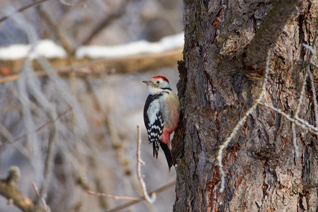 Middle spotted woodpecker (Dendrocoptes medius) sits on a larch trunk in a forest park on the first day of winter.