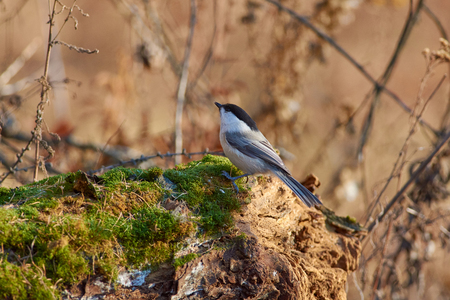 Willow tit (Poecile montanus) sits on a mossy log against the background of an autumn forest park.