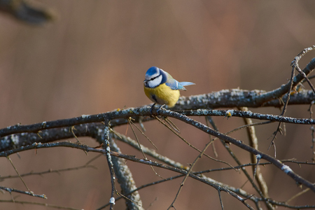 Blue tit (Cyanistes caeruleus) sits on a lichen-covered branch in the winter forest park.