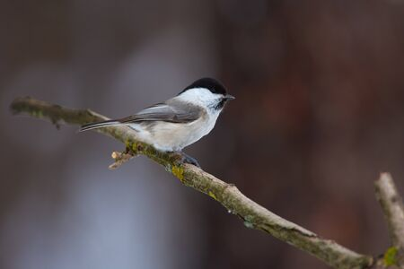 Bird - Willow tit (Poecile montanus) sits on a thick branch in the winter forest on the background of bushes. Stok Fotoğraf