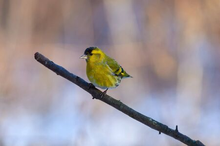 Bird - siskin (Spinus spinus) sits on a thick branch in the winter forest on the background of bushes. Stok Fotoğraf