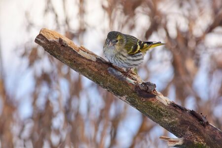 Bird - Siskin (Spinus spinus) sitting on a branch covered with lichen in the winter forest on the background of bushes.