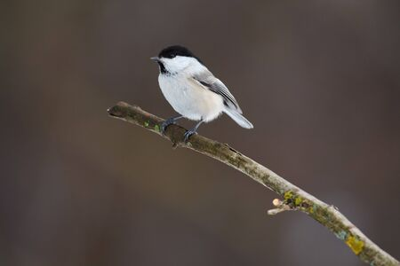 Bird - Willow tit (Poecile montanus) sitting on a branch covered with lichen in the winter forest on a blurry background. Stok Fotoğraf