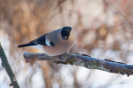 Bird - Eurasian bullfinch (pyrrhula pyrrhula) sits on a branch covered with lichen in the winter forest on the background of bushes.