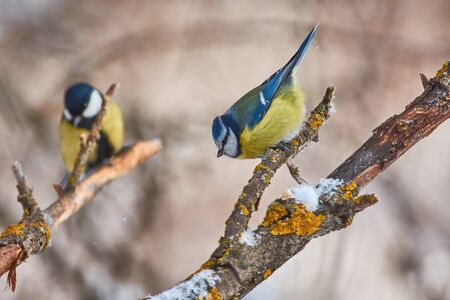 Bird - Blue tit (Cyanistes caeruleus) sitting on a branch covered with lichen in the winter forest on a background of other tits. Stok Fotoğraf