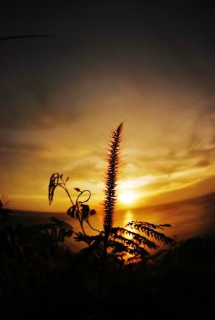 grass flower at the sunset