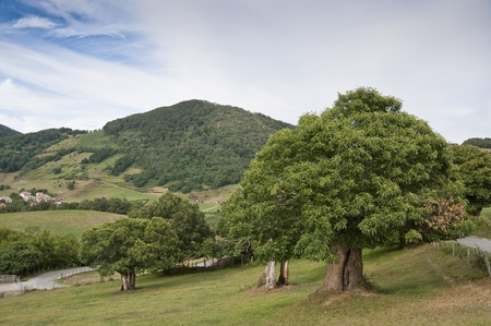 Chestnut trees in Navarra countryside (Spain), with Berute village in the background