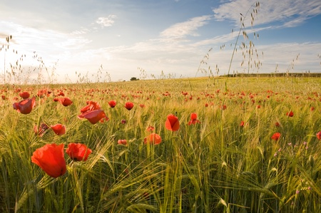 Barley crop with poppies in Toledo province (Spain) photo
