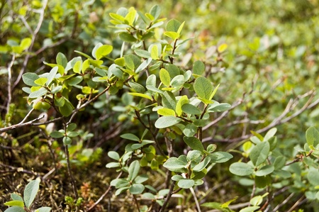 Leaves and fruits of Bog Bilberry (Vaccinium uliginosum). This species is native to cool temperate regions of the Northern Hemisphere, at low altitudes in the Arctic, and at high altitudes south to the Pyrenees and other mountains