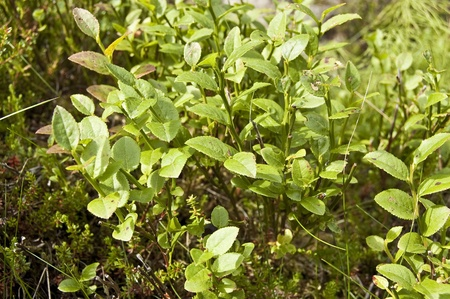 Bilberry (Vaccinium myrtillus). Its fruits is commonly used to make pies and jams. Bilberry leaf is used for different conditions, including diabetes. It is used as a medicinal plant