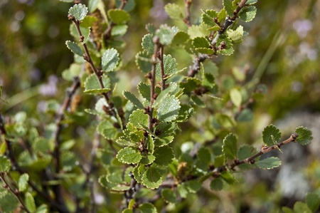 Dwarf Birch (Betula nana).This species is found mainly in the tundra of the Arctic region.