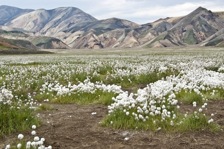 cotton flower: Volcanic landscape in Landmannalaugar (Iceland) with common cottongrass