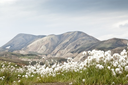 Volcanic landscape in Landmannalaugar (Iceland) with common cottongrass photo