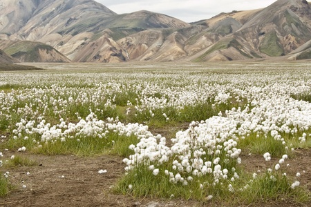 volcanic landscape: Volcanic landscape in Landmannalaugar (Iceland) with common cottongrass