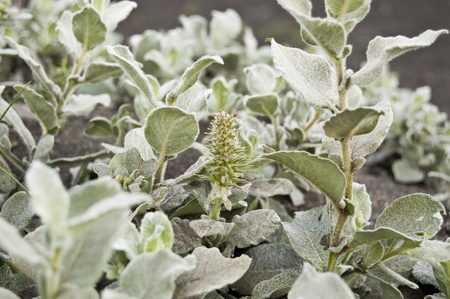 pubescent: Wooly Willow (Salix lanata). It is a species of willow native to tundra regions over much of the Circumboreal Region. Stock Photo