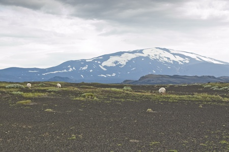 Volcano Hekla and iceland sheep. Hekla is a stratovolcano located in the south of Iceland with a height of 1,491 metres