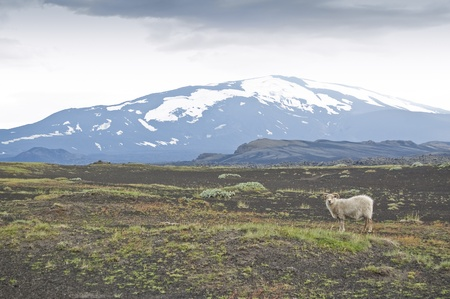 hekla: Volcano Hekla and iceland sheep. Hekla is a stratovolcano located in the south of Iceland with a height of 1,491 metres