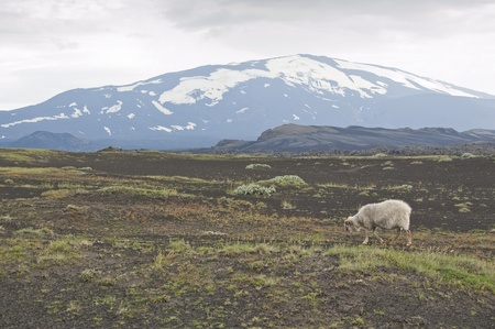 Volcano Hekla and iceland sheep. Hekla is a stratovolcano located in the south of Iceland with a height of 1,491 metres Stock Photo - 11331945