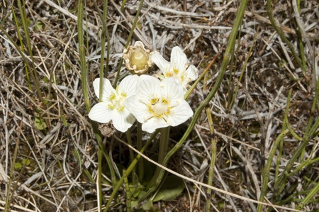 palustris: It is the county flower of Cumbria and Sutherland in the United Kingdom