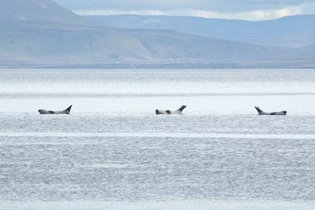 coreography: A Harbor Seal (Phoca vitulina) colony in Vatnsnes Peninsula (Iceland)