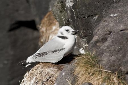 charadriiformes: Black-legged Kittiwake juvenile on a nest in a cliff of Iceland (Arnarstapi)