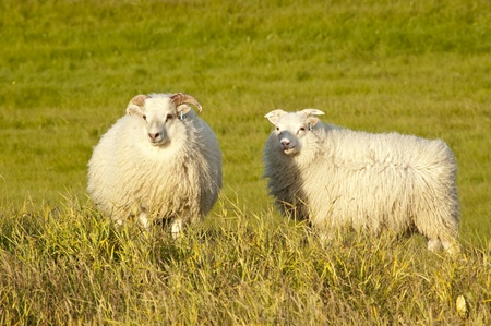 Two sheep on an icelandic meadow at dusk