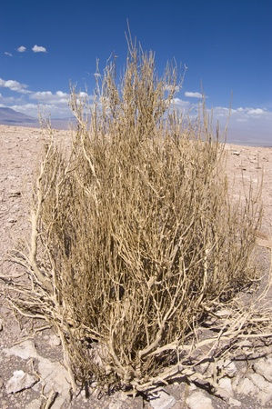 Ephedra (Ephedra breana). Picture taking in Atacama Desert (Chile) Stock Photo