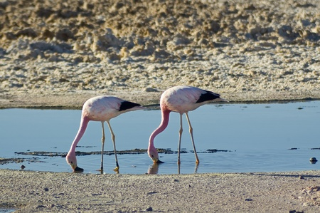 Andean Flamingos  (Phoenicoparrus andinus) in Chaxa lagoon, Chile