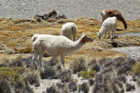 Llamas (Lama glama) in Chilean altiplano Stock Photo - 11975576