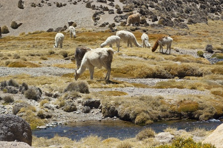 Llamas (Lama glama) in Chilean altiplano