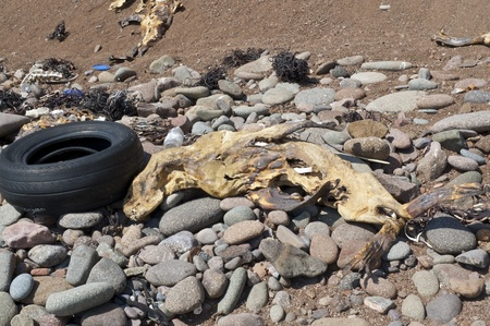 corazones: Sea Lion carcass on a Chilean beach, Arica