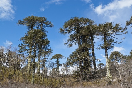 Araucaria forest, Conguillio National Park, Chile